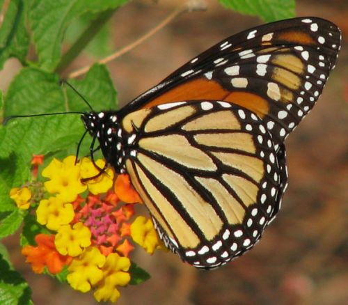 12-days-of-christmas-butterflies-12-monarch-the-king-of-butterflies-to-celebrate-the-birth-of-the-king-of-kings_l