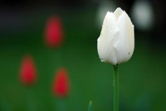 tulips-15_l