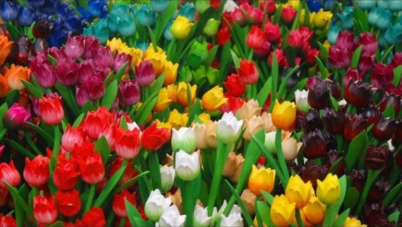 wooden-tulips_l