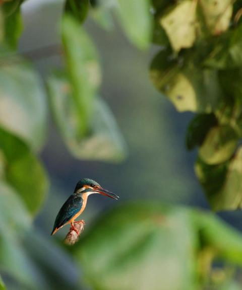 kingfisher-7_l