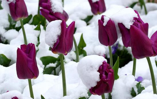 tulips-in-the-snow_l
