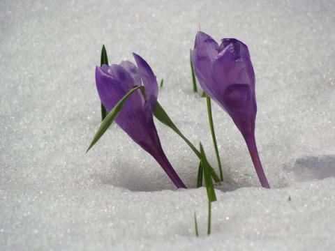 crocus-vernus-on-snow_l