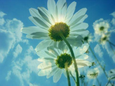 marguerites-daisies_l