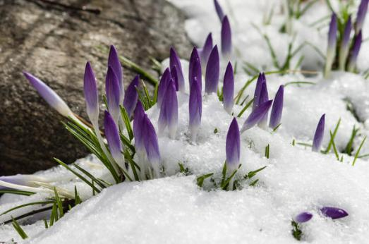 crocus-in-the-snow_l