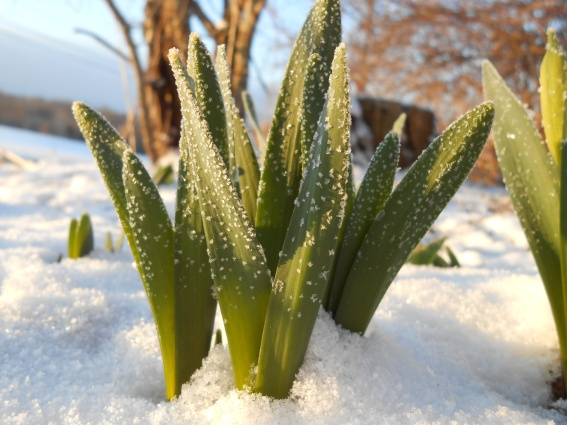 frozen tulips 3
