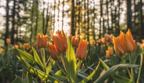 sunset-tulip-forest